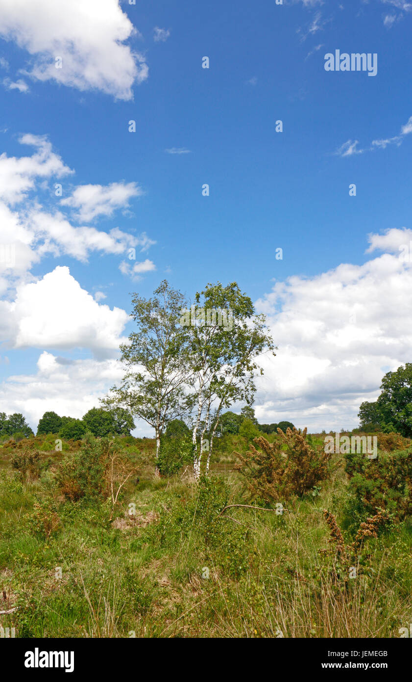 A view of part of the Site of Special Scientific Interest of Buxton Heath at Hevingham, Norfolk, England, United - Stock Image