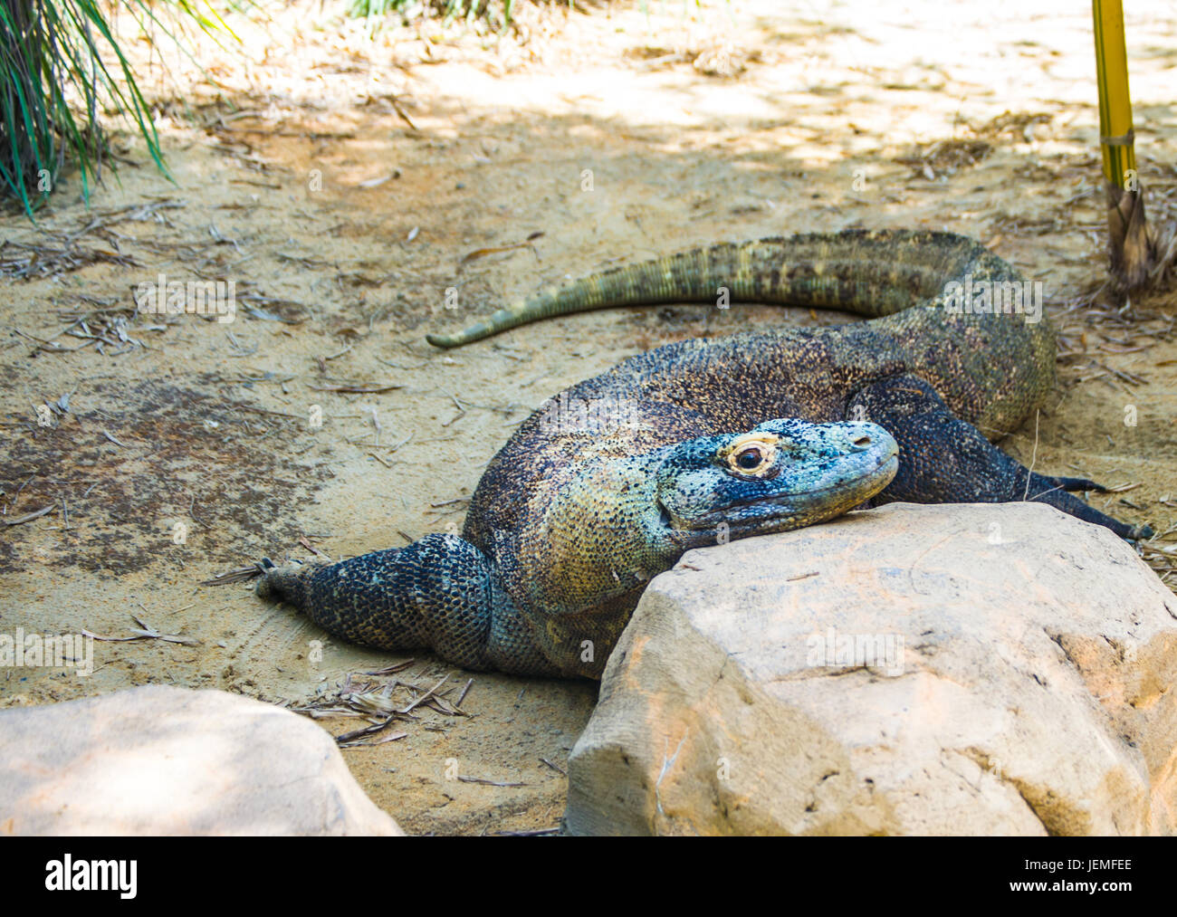 Komodo Dragon/ Bored Lizard / Lazy days of summer. - Stock Image