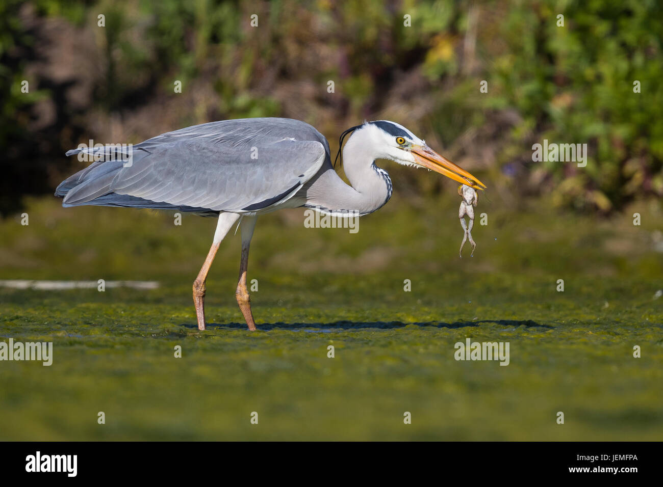Grey Heron (Ardea cinerea), adult with a caught frog in its bill - Stock Image