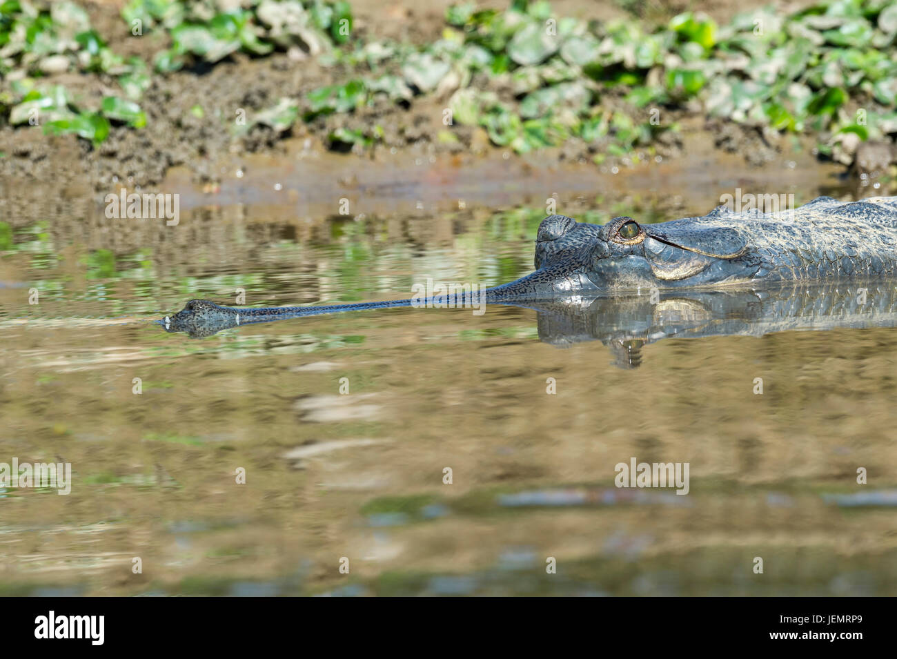 Gharial (Gavialis gangeticus) or gavial in the water, Critically Endangered species, Crocodylidae Family, Chitwan - Stock Image