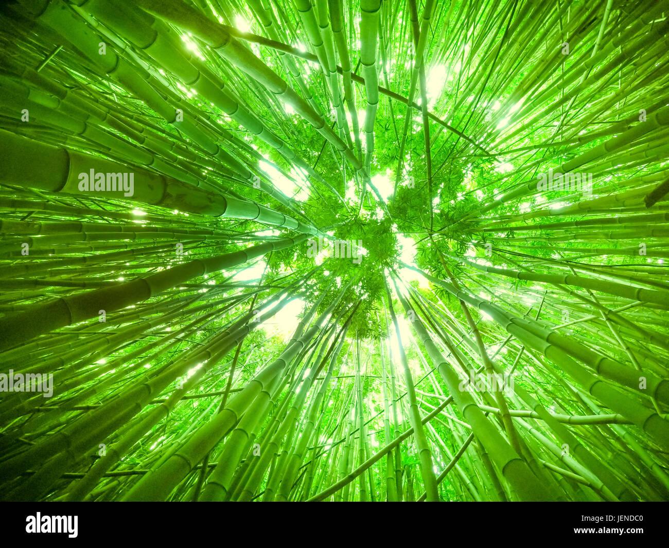 Low angle view of a bamboo canopy, Maui, Hawaii, America, USA Stock Photo