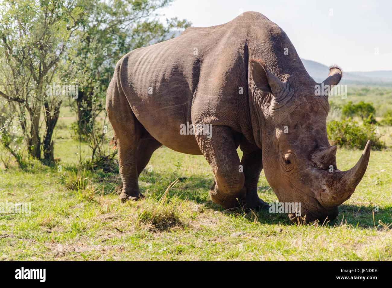 rhino grazing in savannah at africa - Stock Image