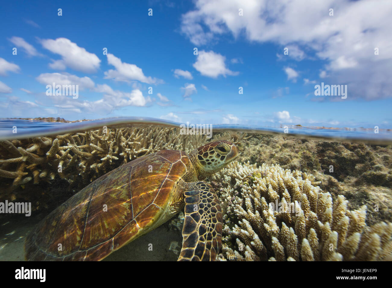 Green Sea turtle swimming over a coral reef, Lady Elliot Island, Queensland, Australia - Stock Image