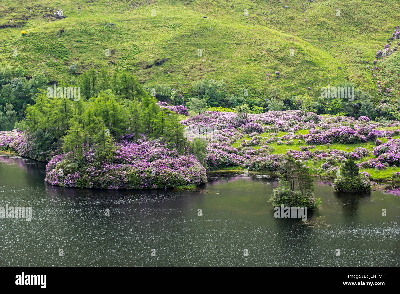 Common rhododendrons / Pontic rhododendron (Rhododendron ponticum) in flower along Loch Etive, invasive species - Stock Image