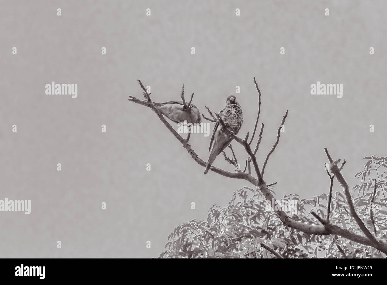Couple of Parrots in the Top of a Tree - Stock Image
