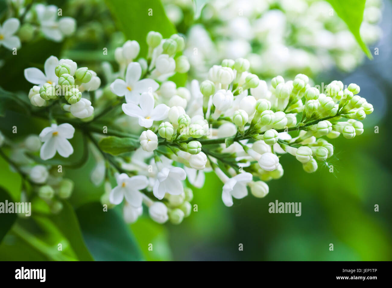 White Lilac Flowers Macro Photo Of Flowering Woody Plant In Summer