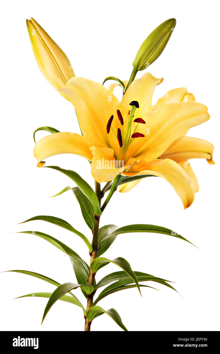 Lilies flowers of peach color isolated on a white background stock lilies flowers of peach color isolated on a white background izmirmasajfo