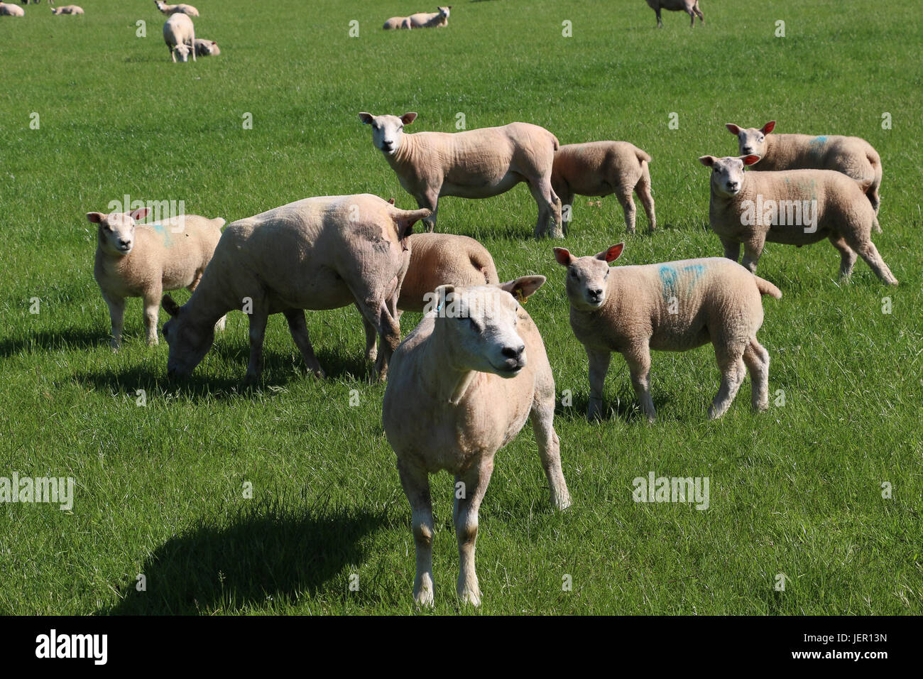 A flock of newly-sheared ewes and lambs cast shadows as they.stand watching in a green grassy field in the spring - Stock Image