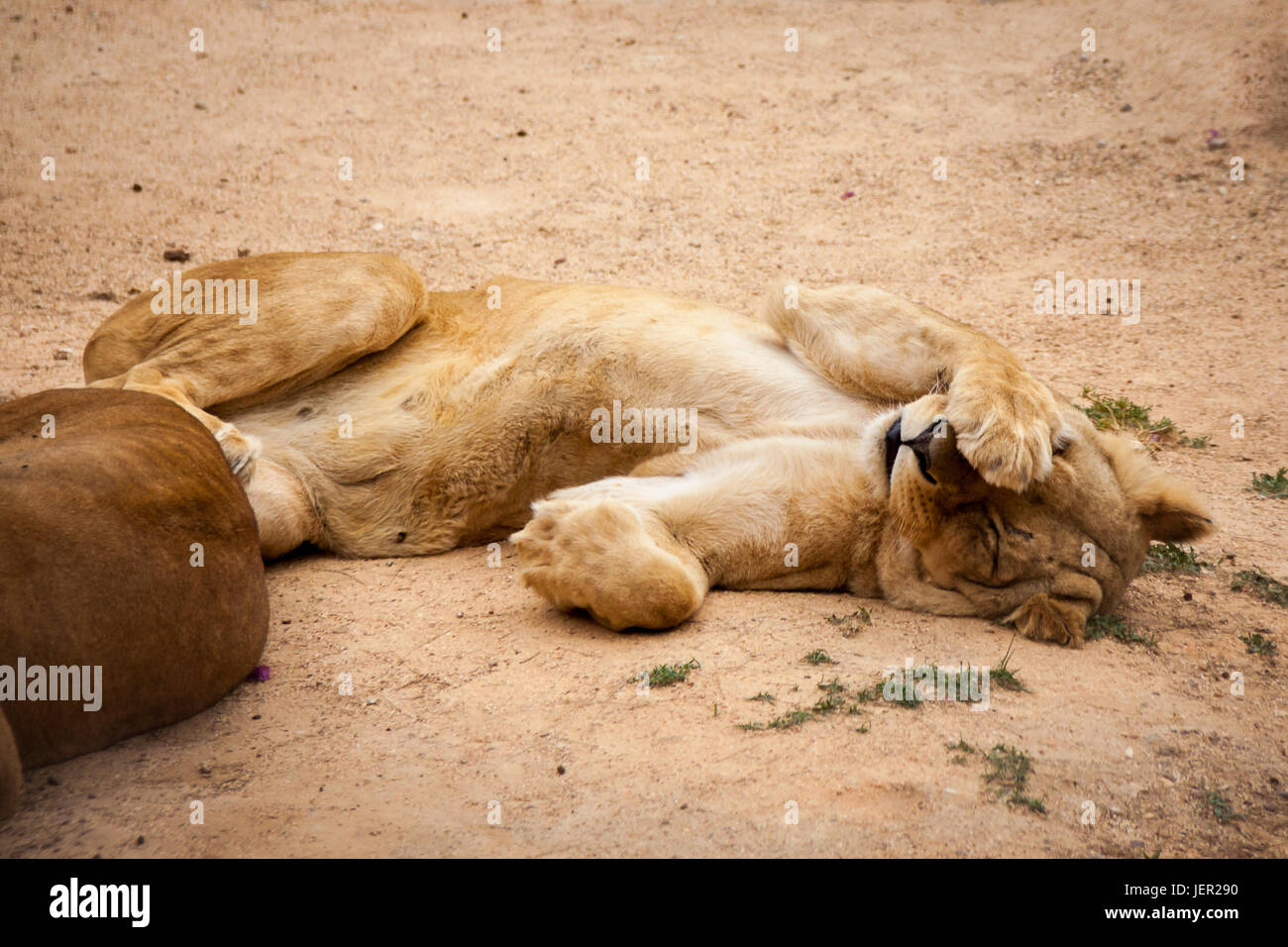 Tired Lioness Hiding her Face, Africa - Stock Image