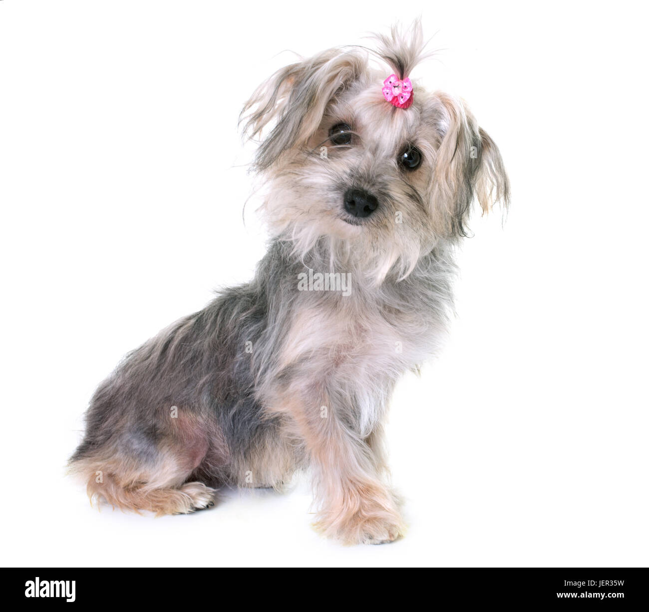 crossbred yorkshire terrier in front of white background - Stock Image