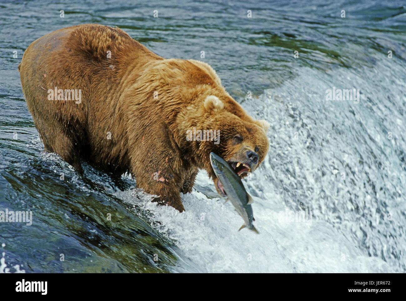 Brown bear catches salmon, Braunbaer faengt Lachs - Stock Image