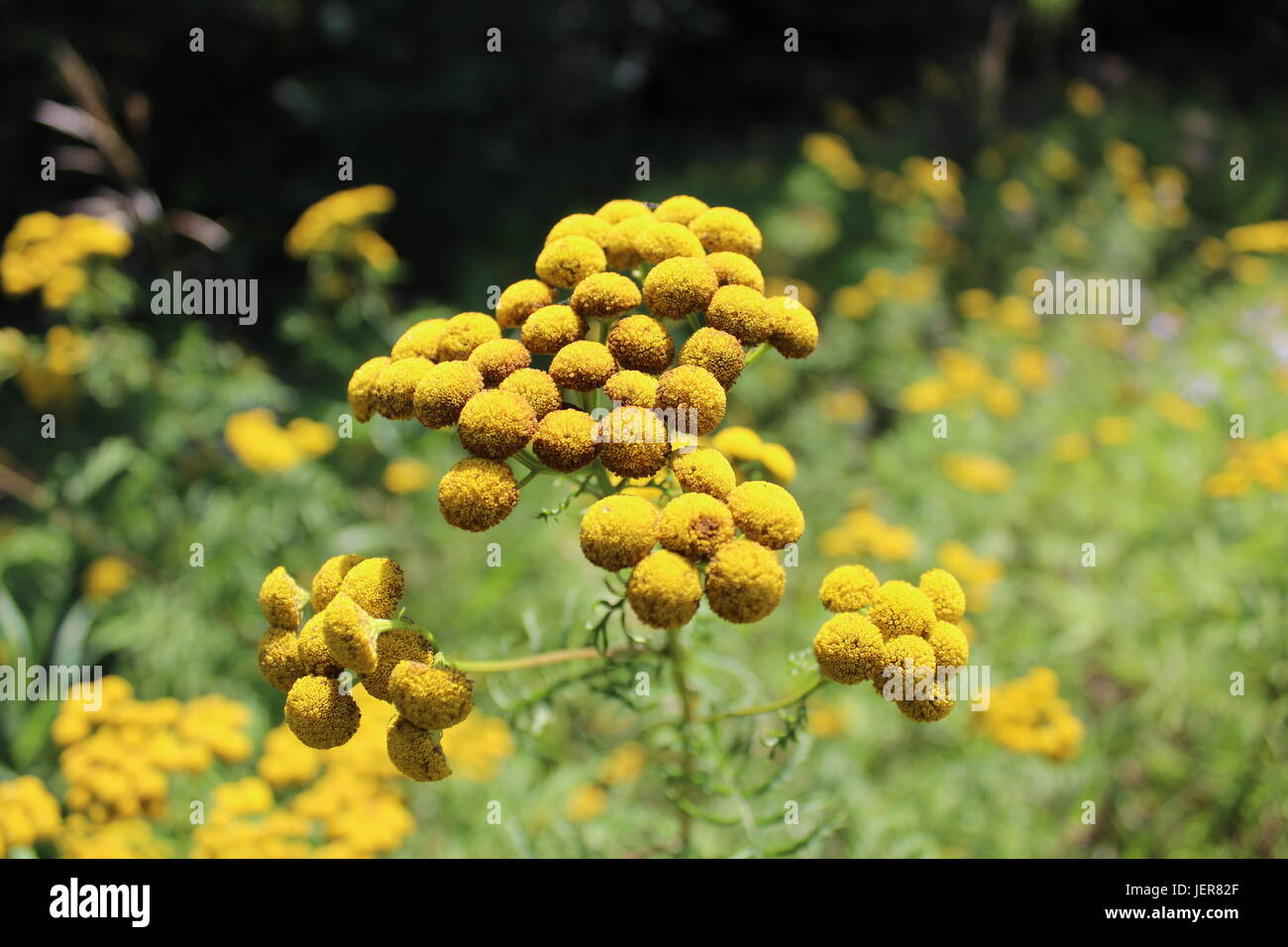 Yellow is a happy color! Beautiful roadside flowers Stock Photo ...