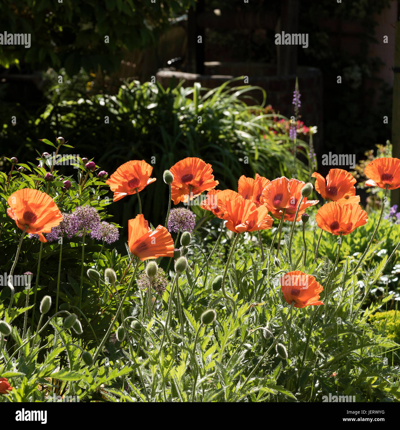 Poppies and Alliums in a southern English country garden Stock Photo