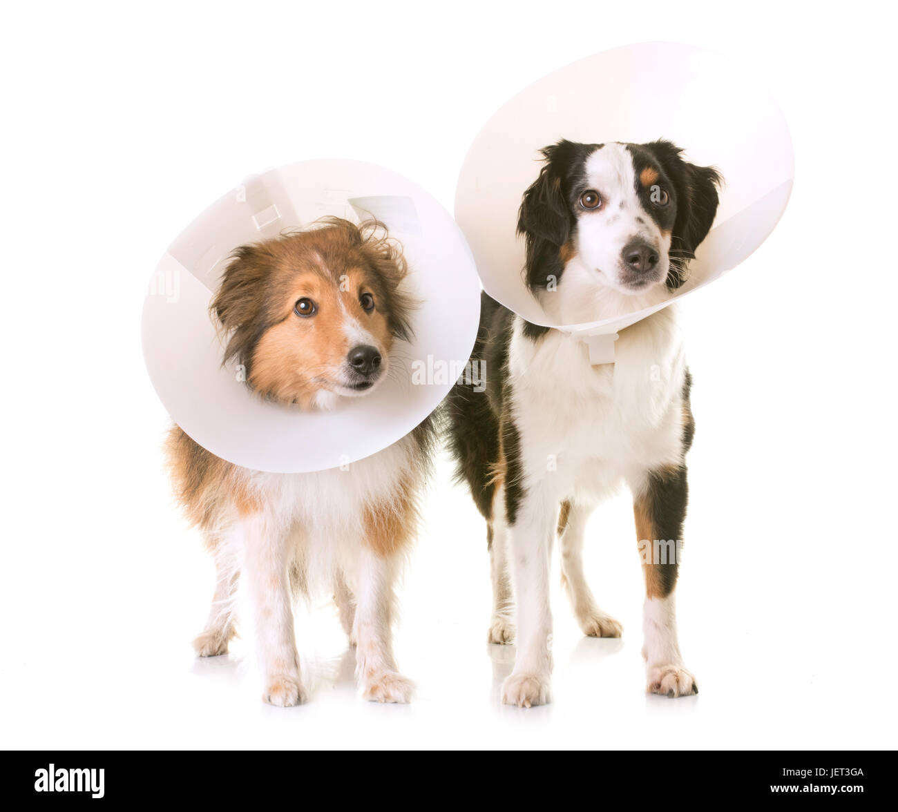 two dogs and protective collar in front of white background - Stock Image