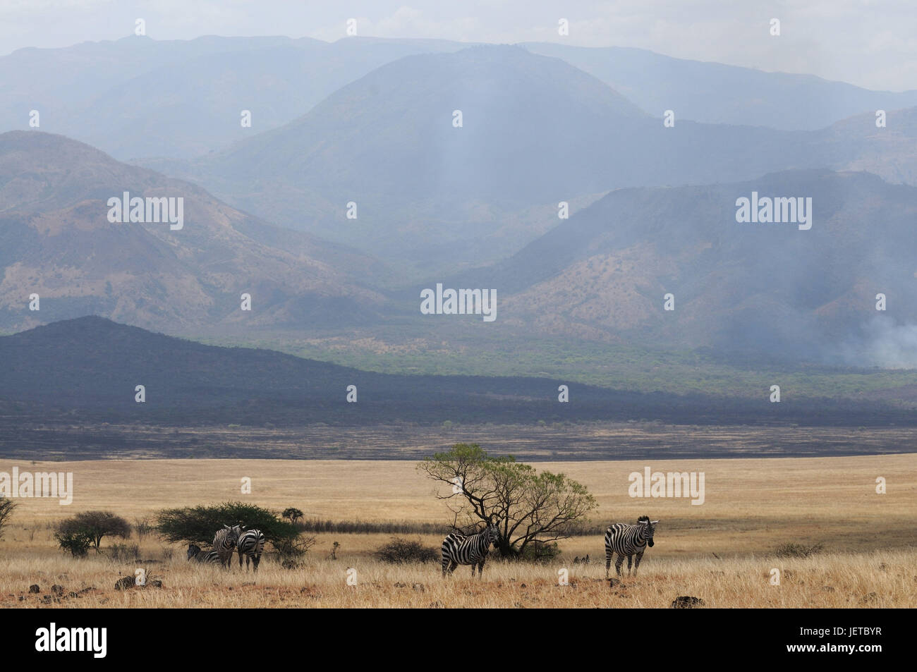 Zebras, steppe scenery, Nechisar national park, south Ethiopia, Stock Photo