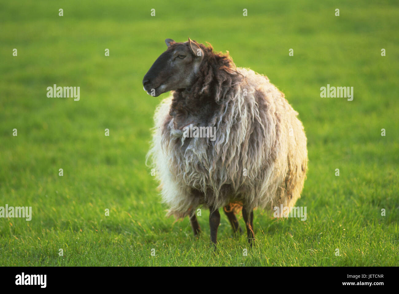 Meadow, sheep, Cotswolds, agriculture, cattle economy, animal, mammal, benefit animal, cattle breeding, stockbreeding, Stock Photo
