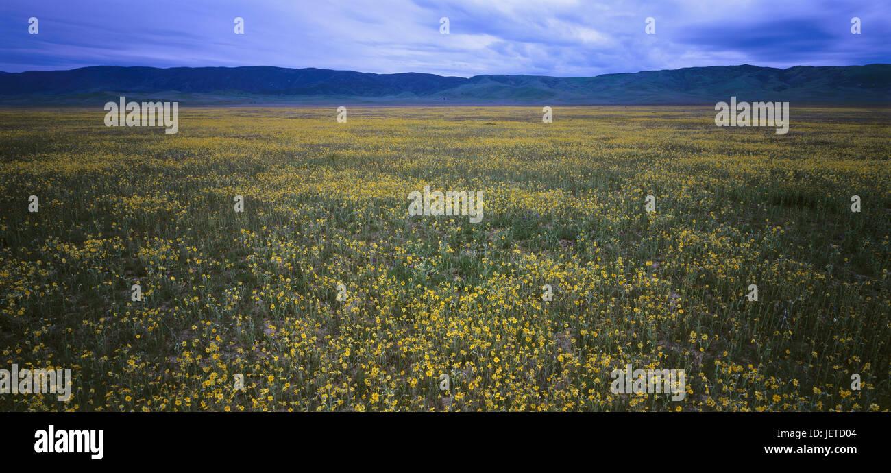 The USA, California, Carrizo Plain national park, mountain landscape, flower meadow, North America, scenery, mountains, - Stock Image