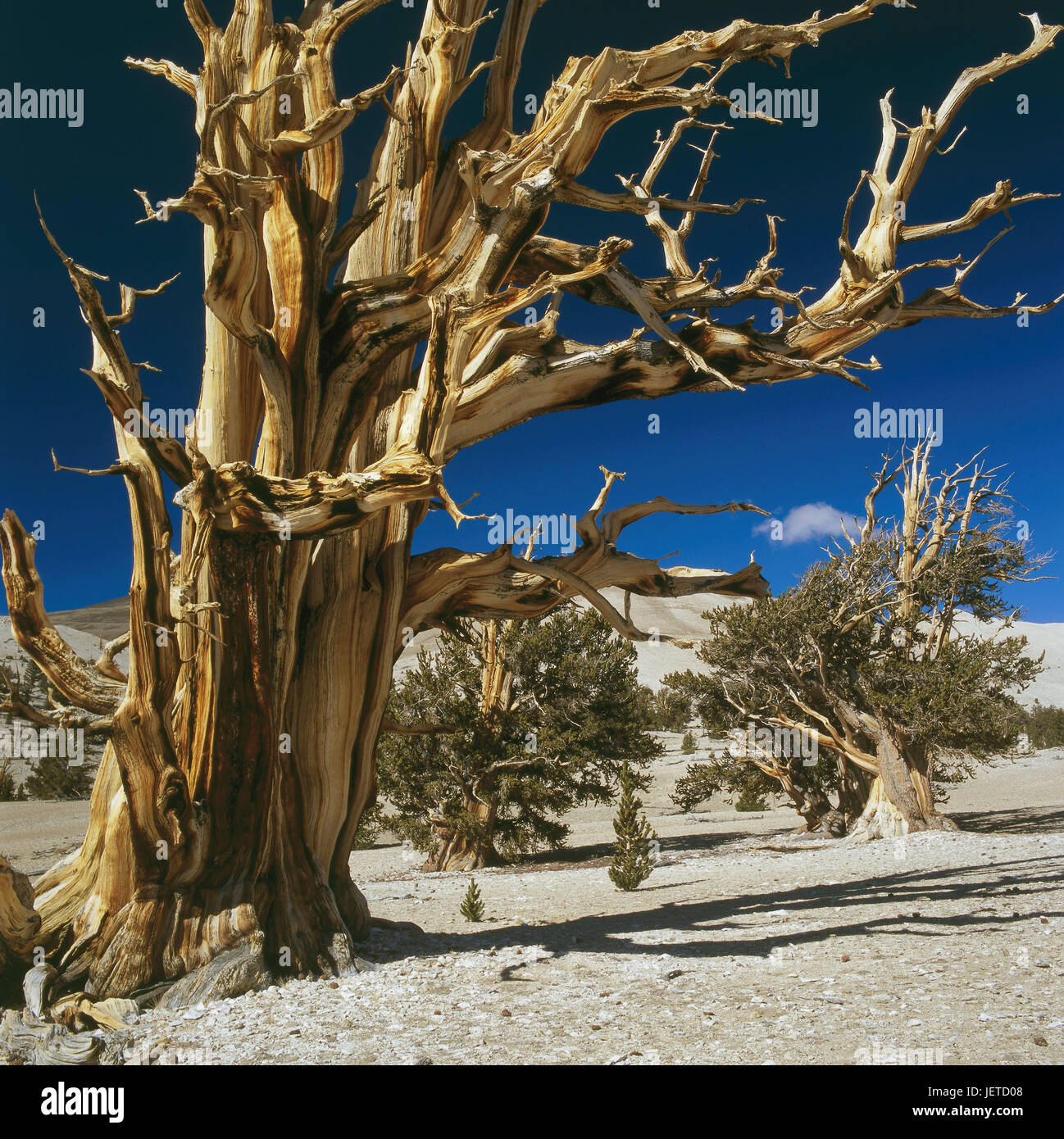The USA, California, White Mountains, Acient Bristlecone Pine Forest, long-lasting pines, Pinus longaeva, North - Stock Image