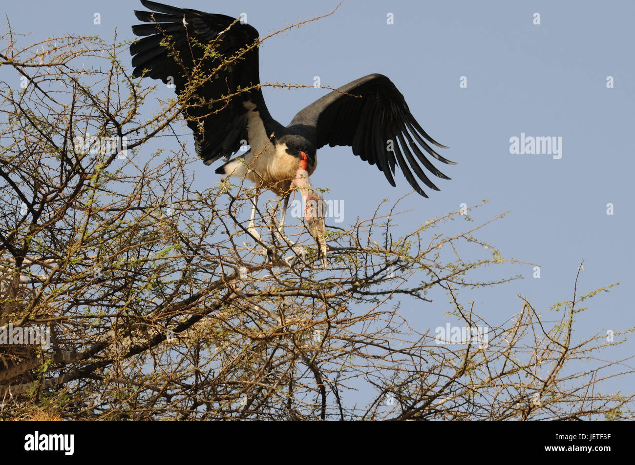 Marabou, tree, Nechisar national park, south Ethiopia, Stock Photo