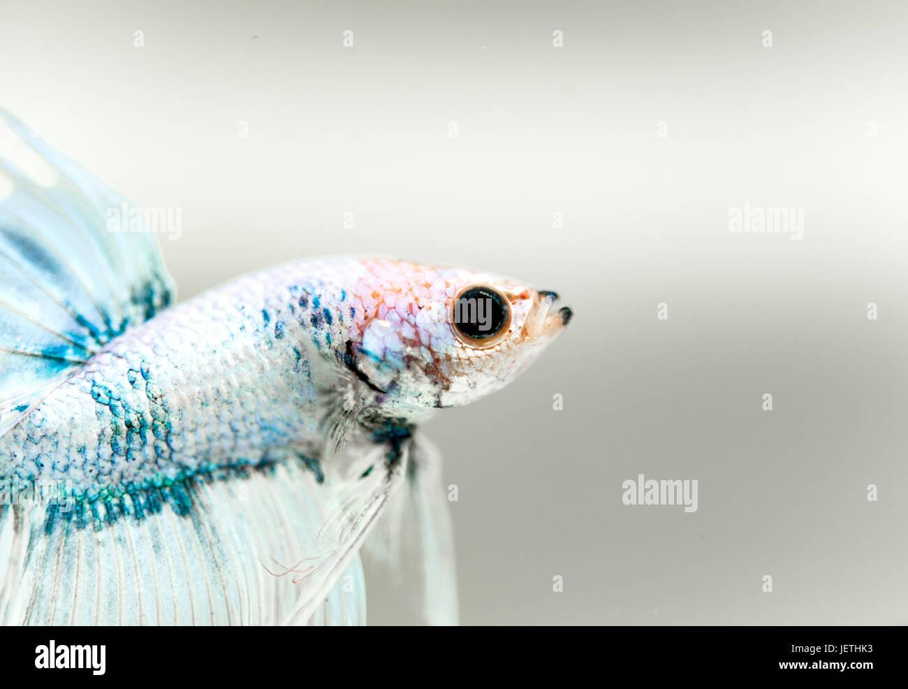 Siamese fighting fish - Stock Image
