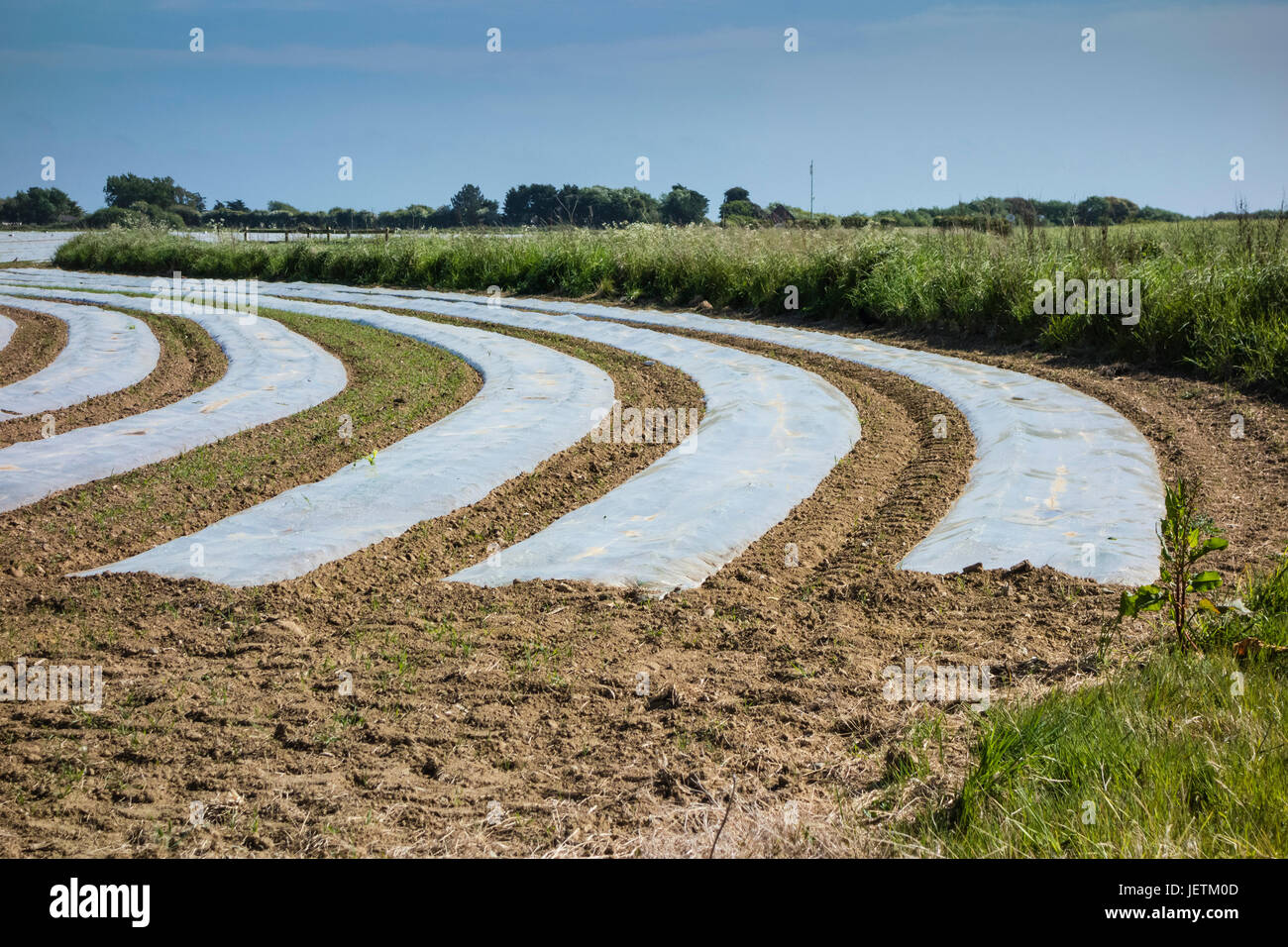 Farm field with crops growing under plastic sheeting, acting as cloches for protection and warmth to encourage growth, - Stock Image