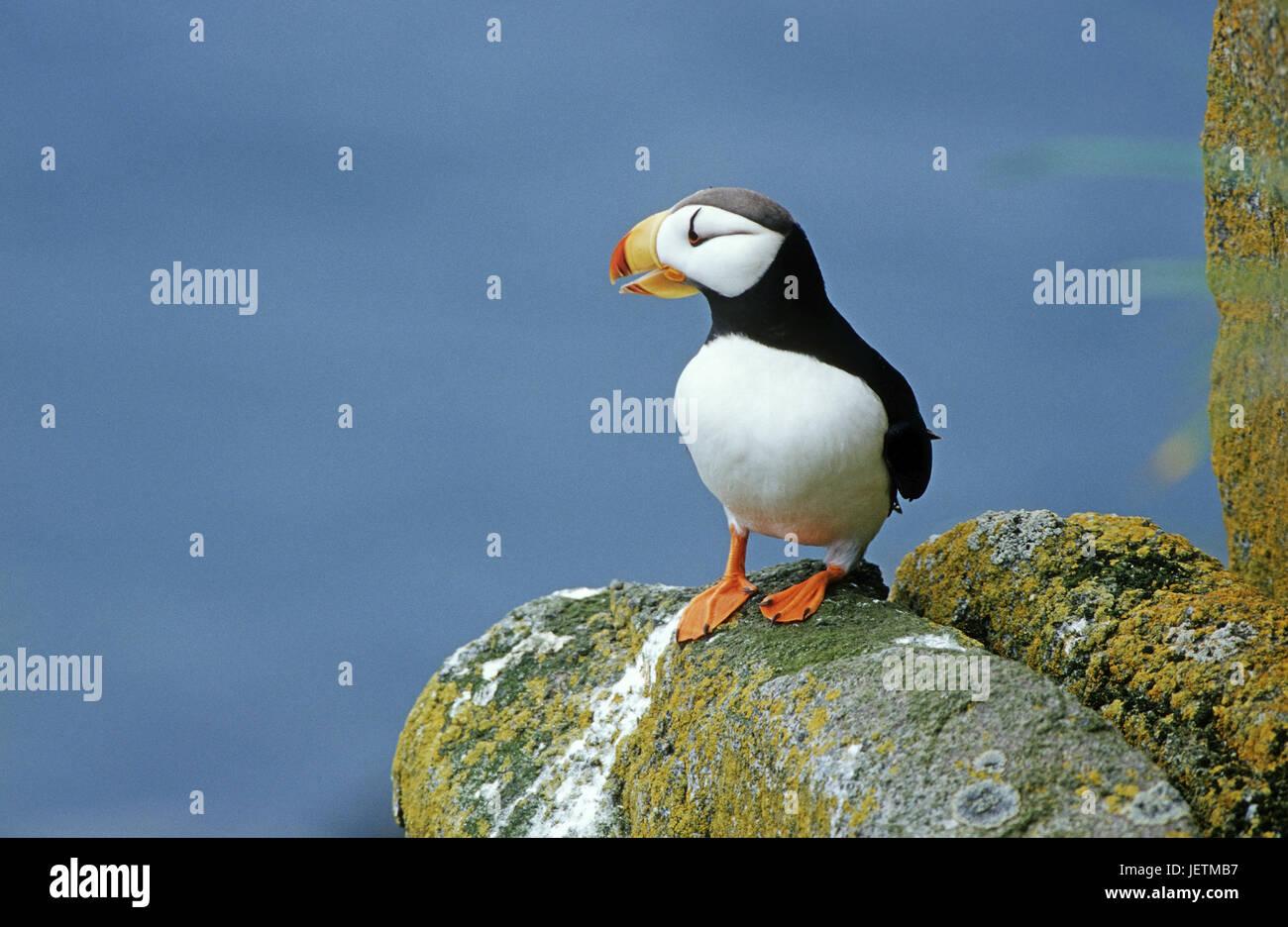 Parrot diver, Fratercula corniculata, Round Iceland, the Bering Sea, Alaska, Papageientaucher (Fratercula corniculata), Stock Photo