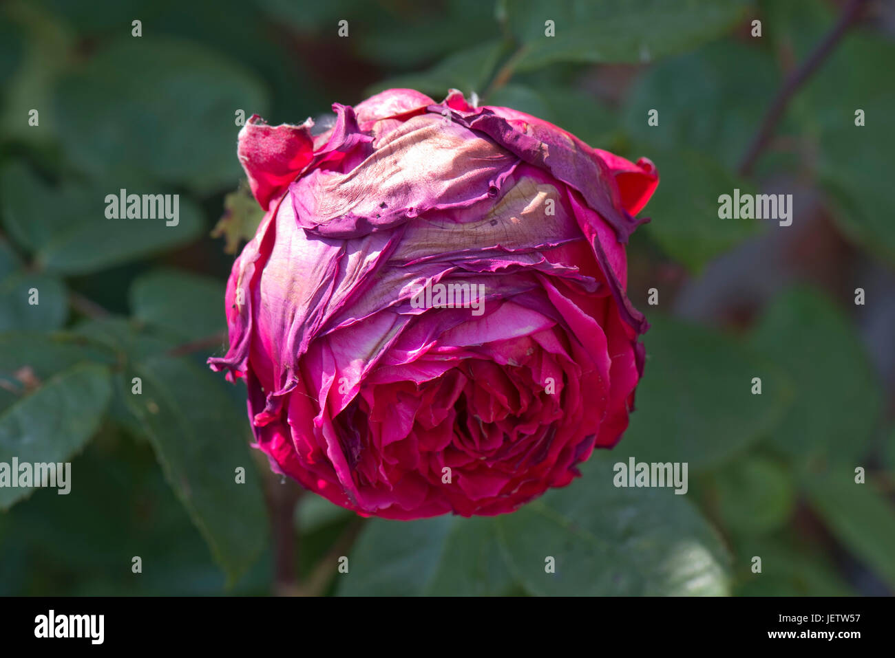 Grey mould, Botrytis cinerea, affecting a large red rose bloom coming into flower after rain and damp weather, Berkshire, - Stock Image