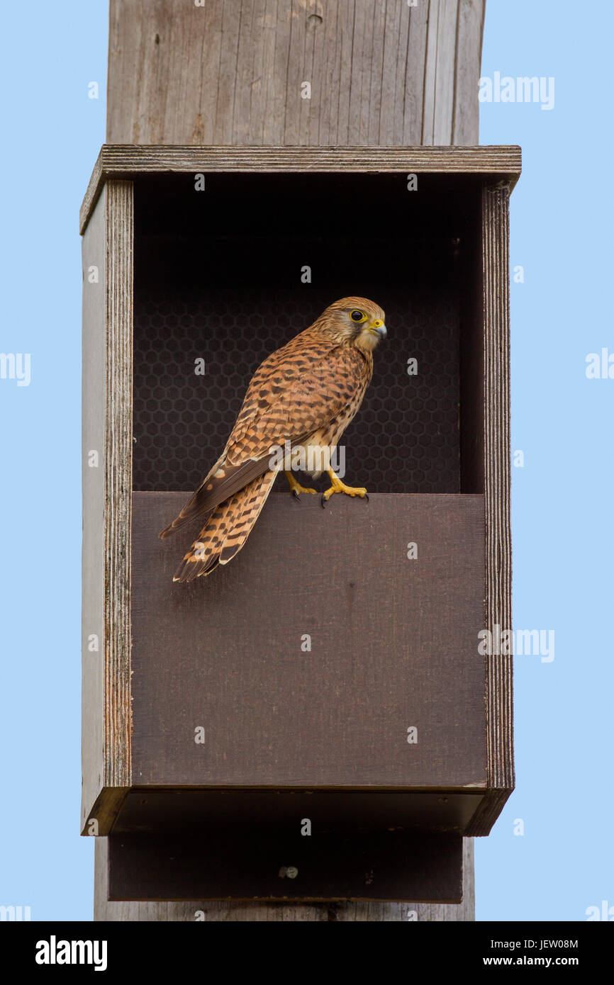 Common kestrel (Falco tinnunculus) female checking out nestbox in spring - Stock Image