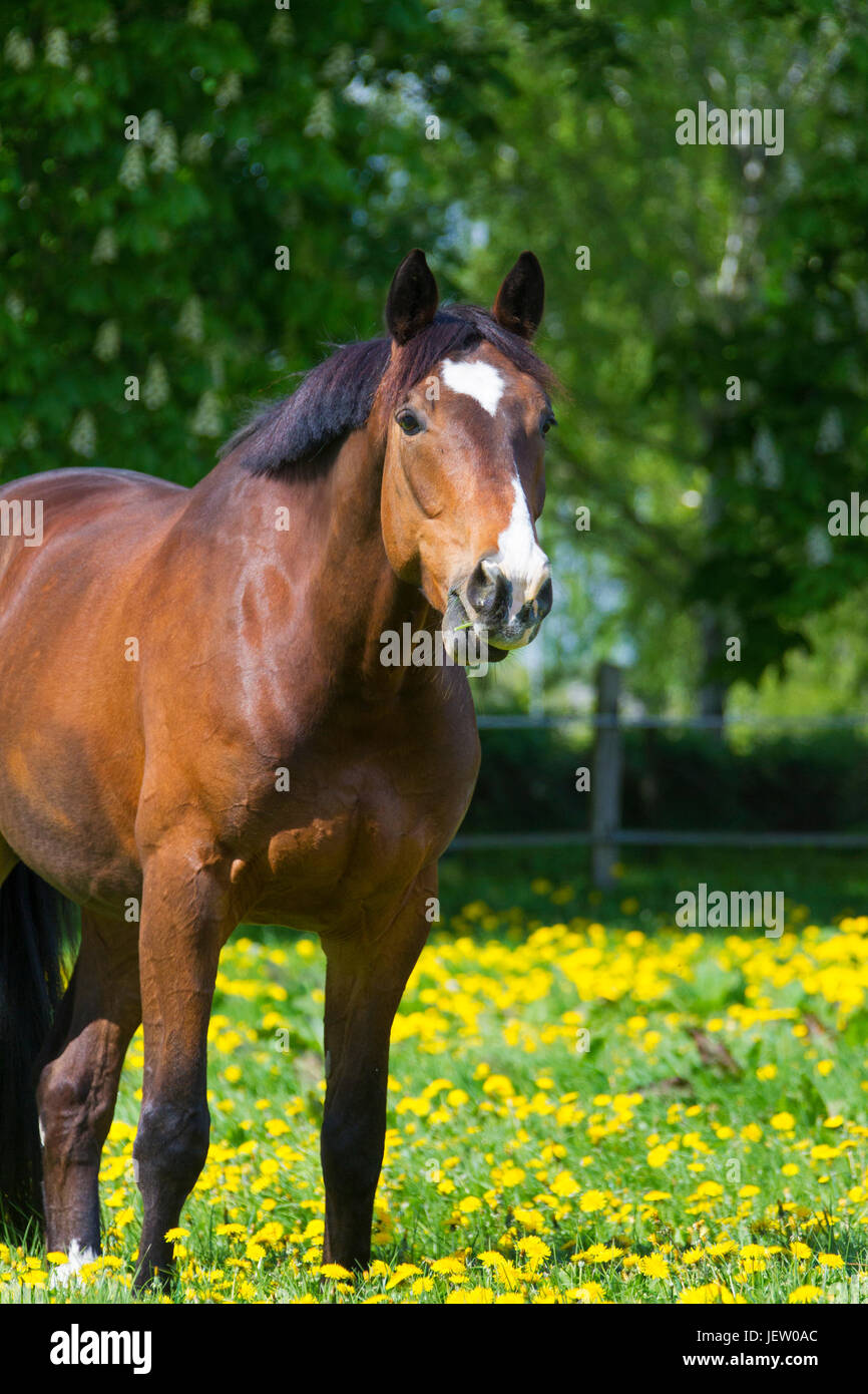 Bay coloured Trakehner horse, East Prussian warmblood breed of horse in field, Germany - Stock Image