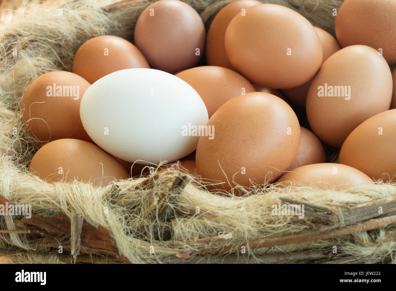 Group of brown eggs expect one, which is white coloured. It shows the uniqueness between individual and the mass. - Stock Image