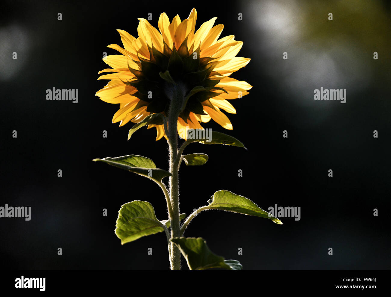 Picture by Paul Slater/PSI - Sunflower facing towards the sun in summer. - Stock Image