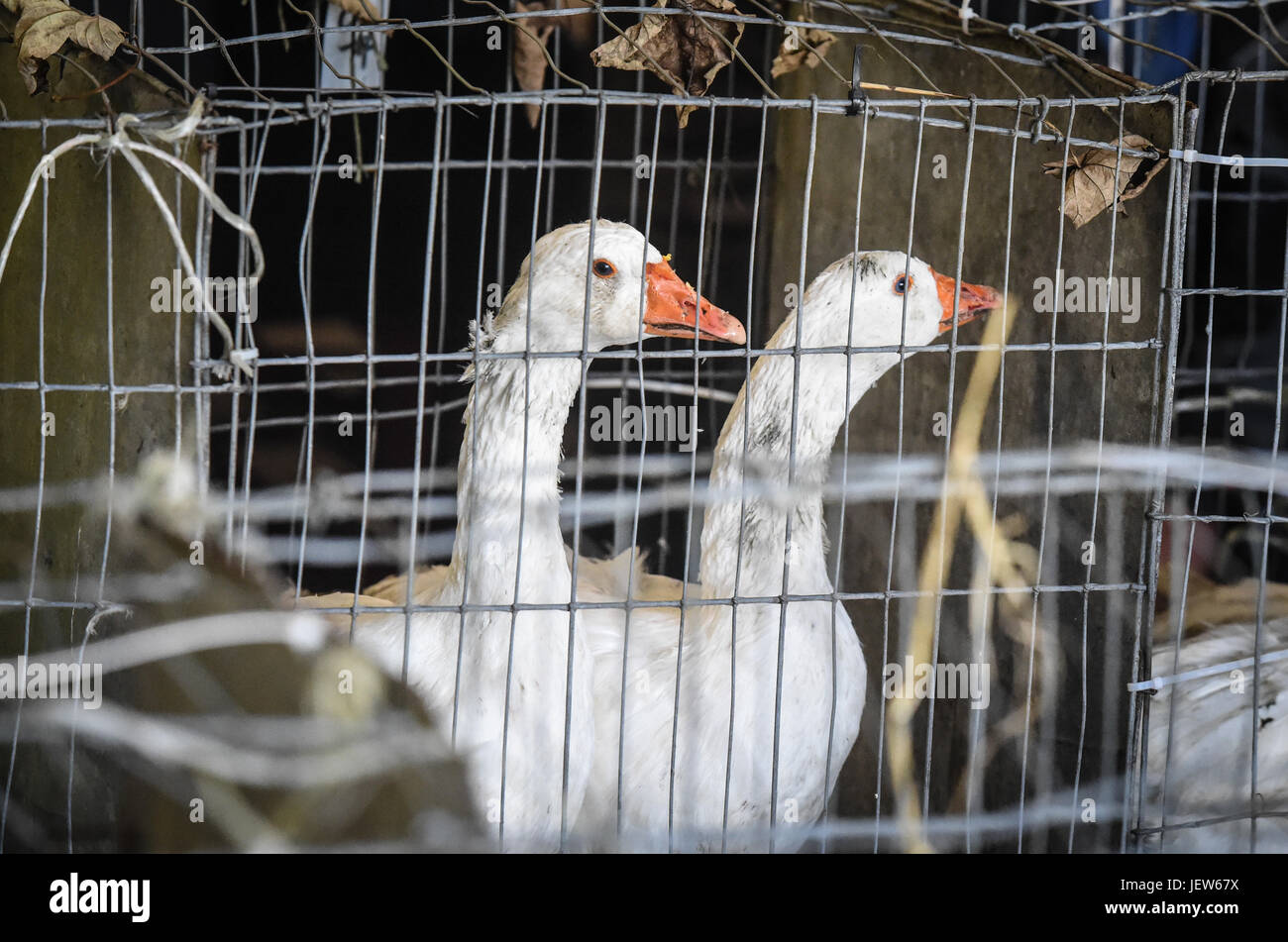 Copyrighted Image by Paul Slater/PSI - Geese at Tavistock Goose Fair. - Stock Image
