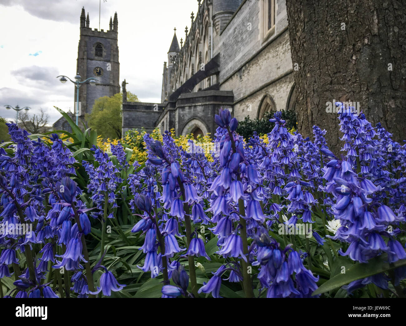 Picture by Paul Slater/PSI - Bluebells at St Andrews Church, Plymouth, Devon. - Stock Image