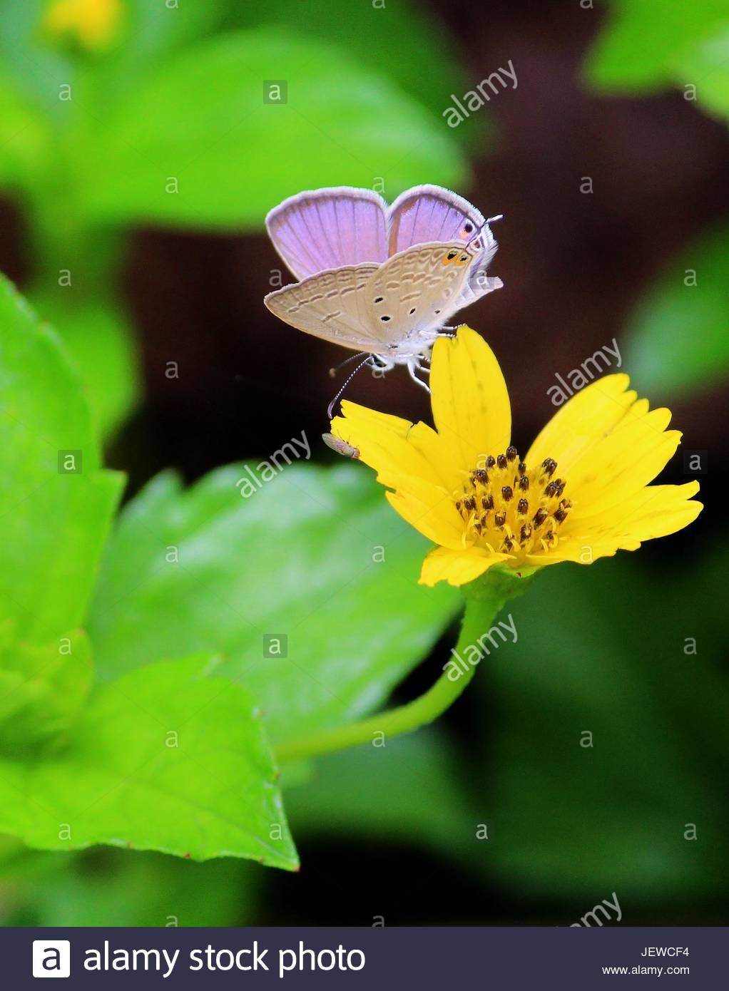 9db2af339 Gram blue butterfly sitting on yellow flower - wings half open - Stock Image