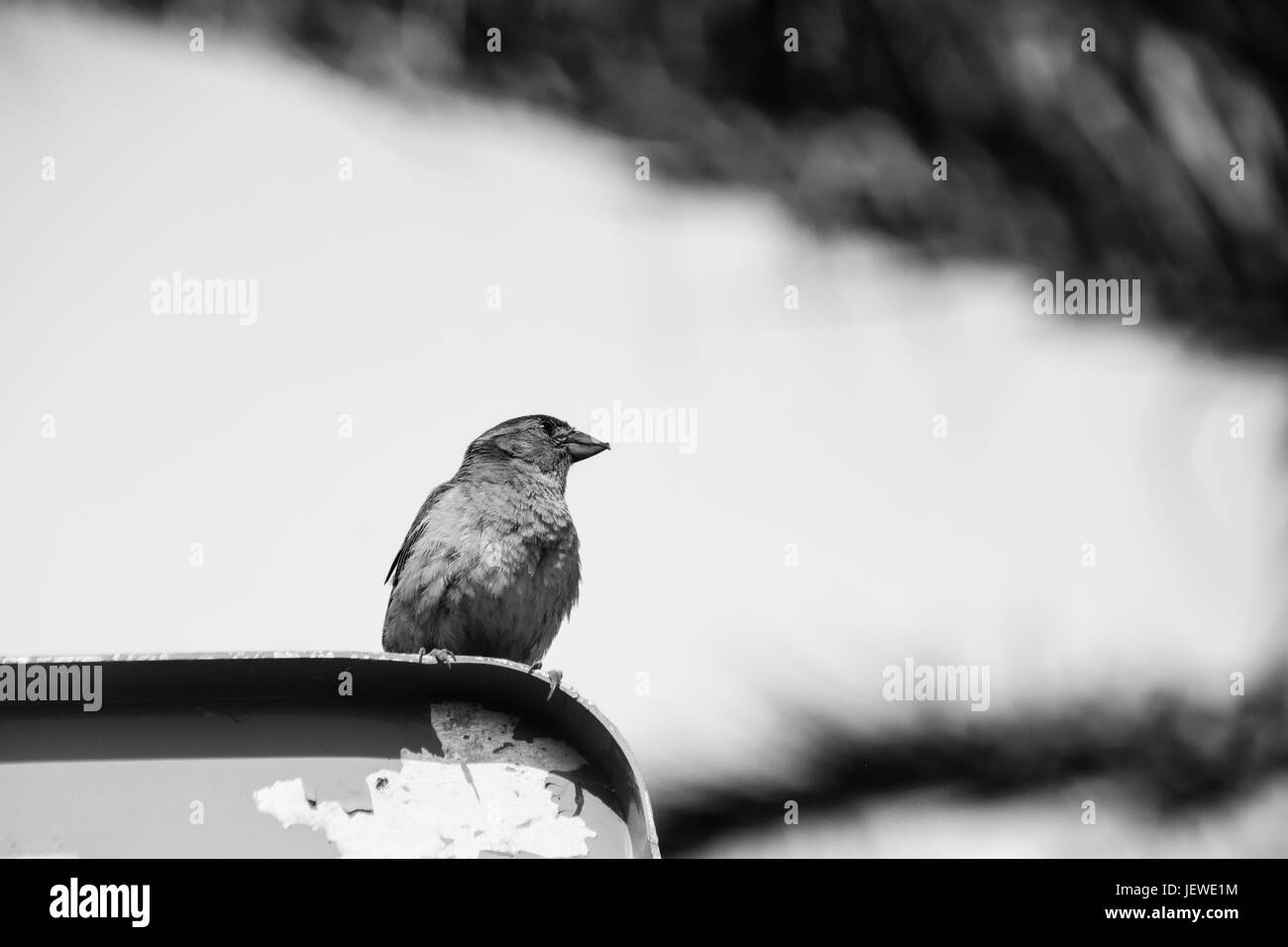 Black and white image of sparrow perched on a road sign - Stock Image