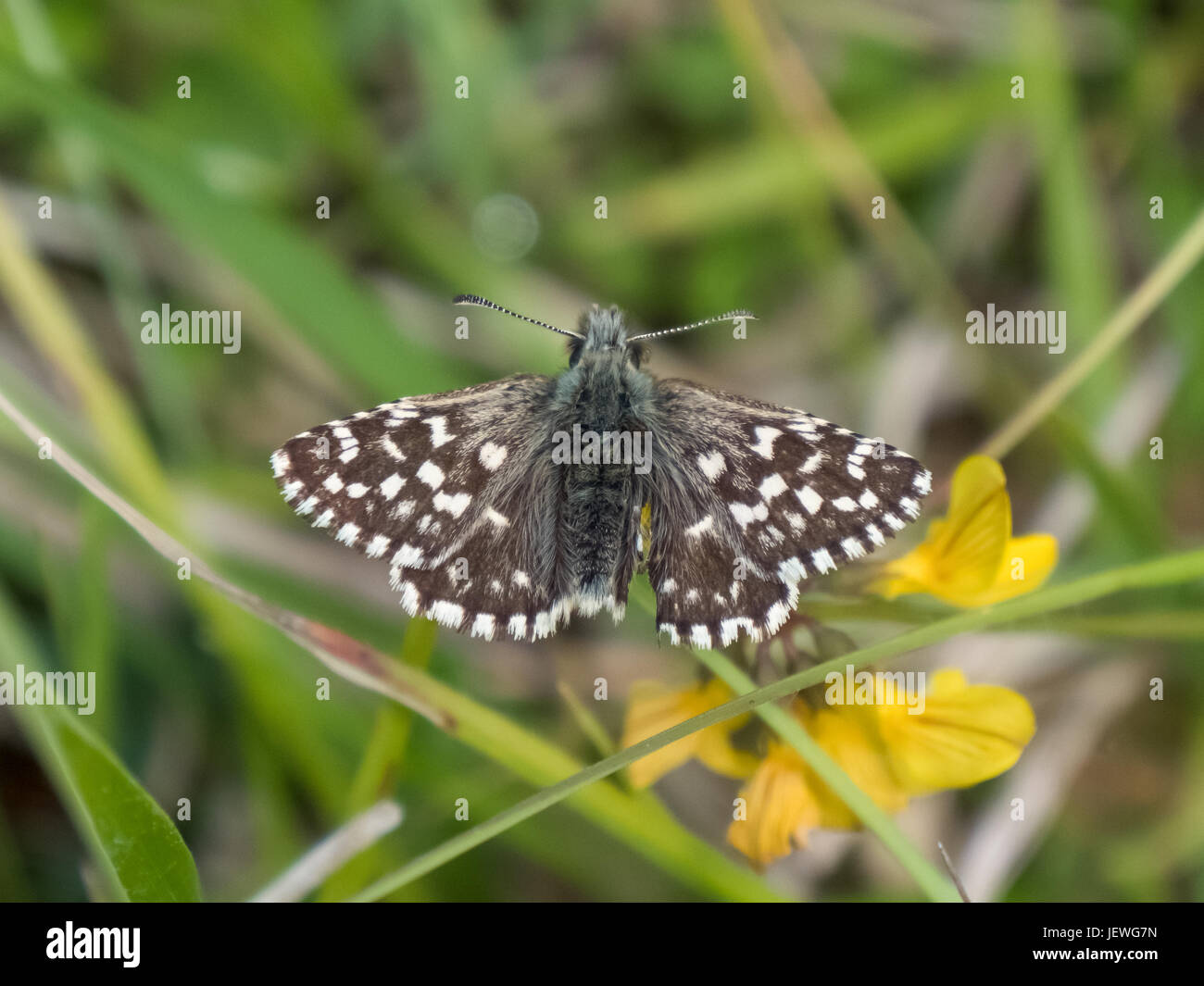 Grizzled Skipper butterfly (Pyrgus malvae) basking warming up on chalkland down - Stock Image