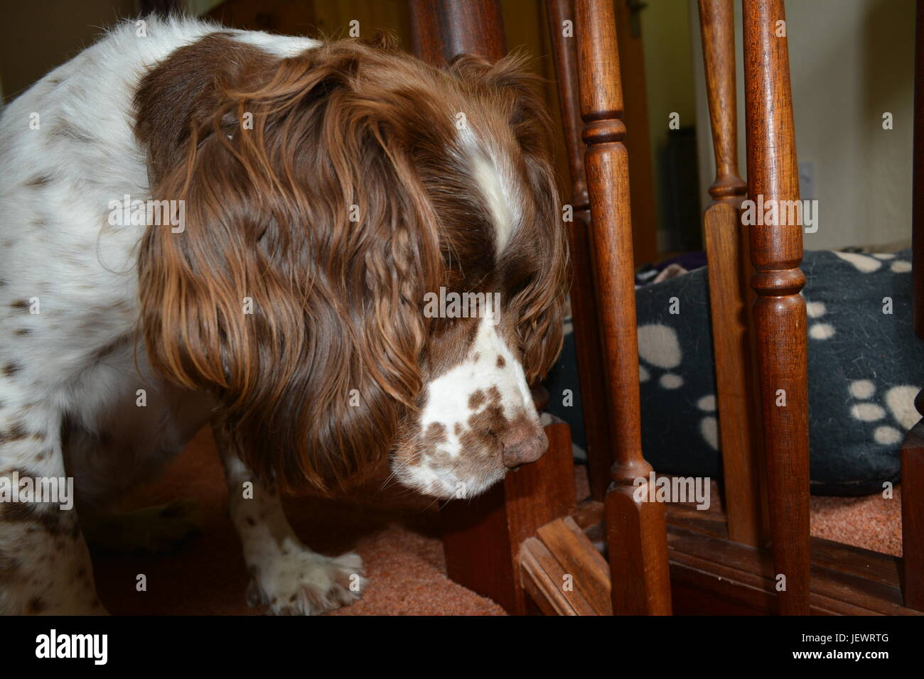 English Springer Spaniel looking down stairs sitting on step and looking out - Stock Image