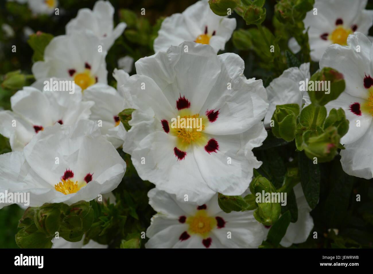 White flower five petals yellow stock photos white flower five close up of white red and yellow garden flower rock rose rockrose in bloom stock mightylinksfo