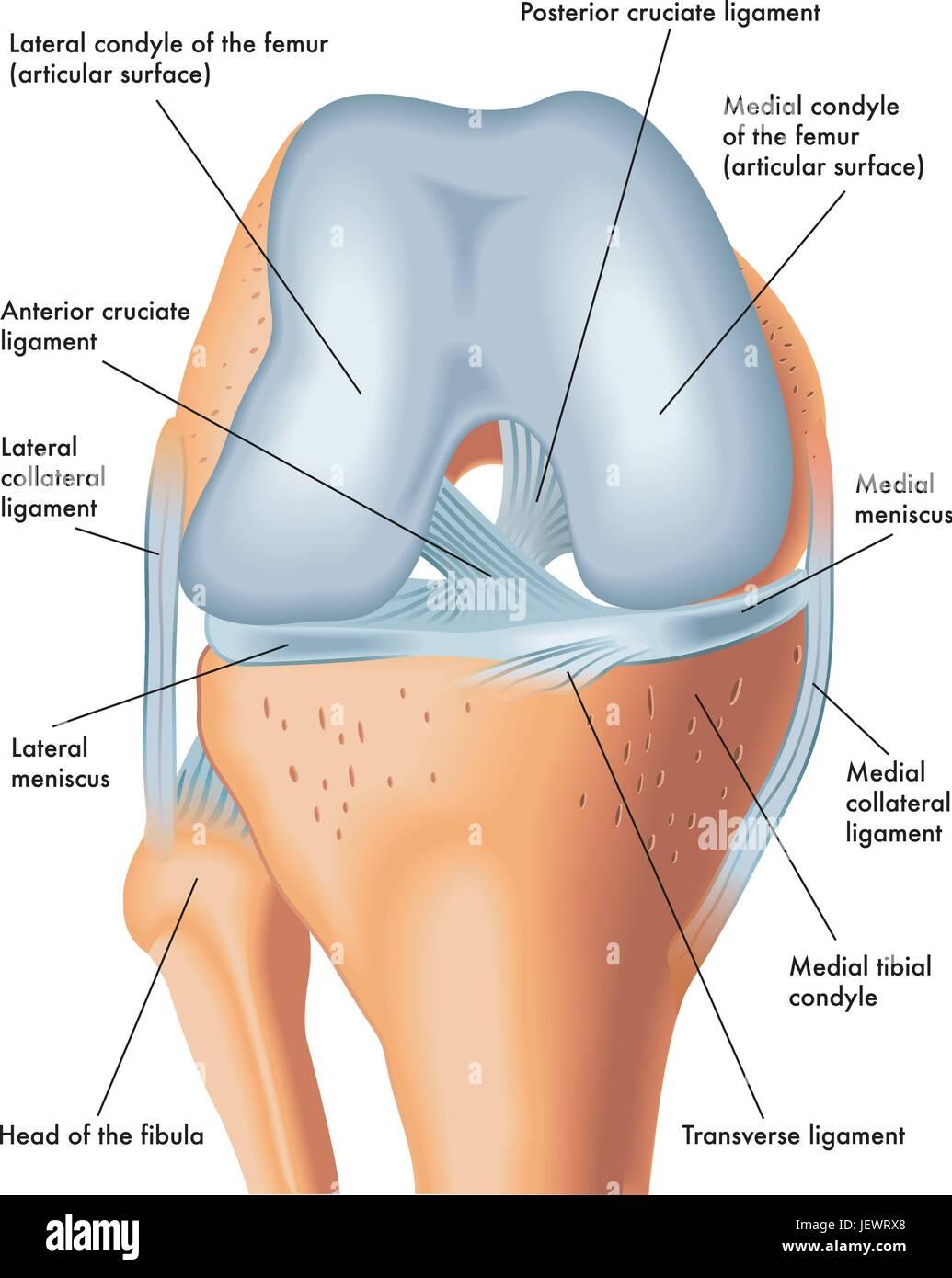 meniscus, knees, knee, legs, skeleton, leg, thigh, joints, anatomy ...