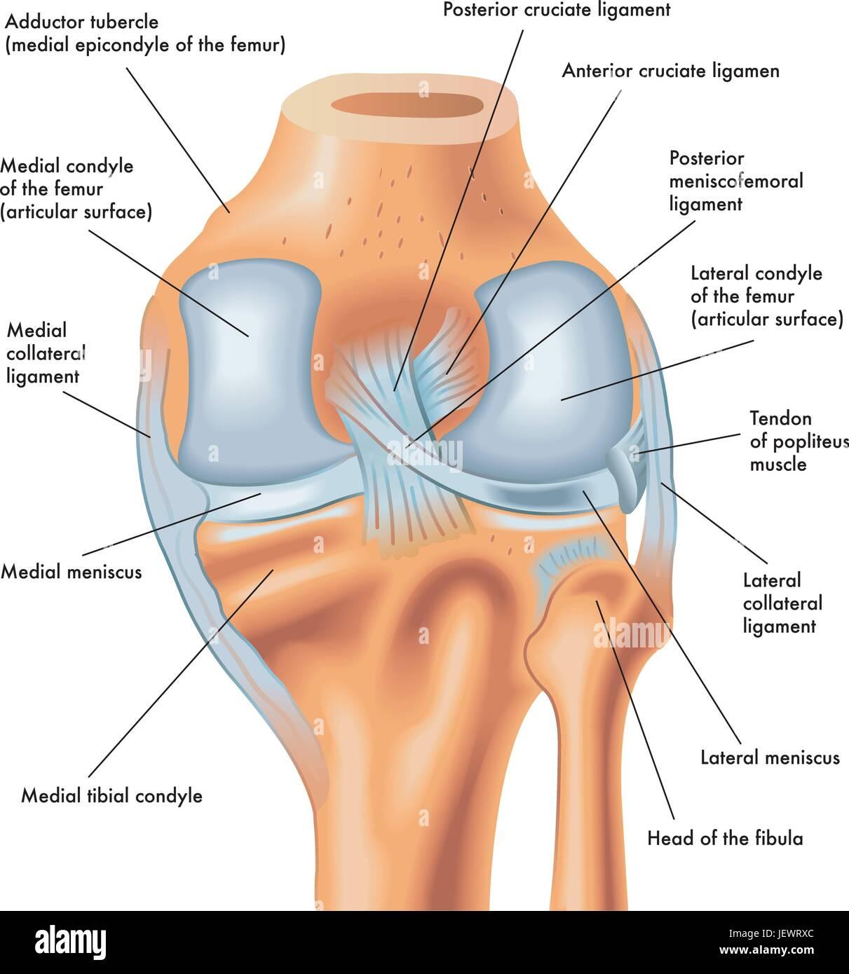 Legs Meniscus Knees Knee Legs Skeleton Leg Thigh Joints
