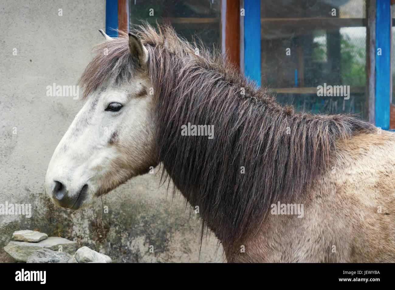 Closeup of a horse, Annapurna region, Nepal. - Stock Image
