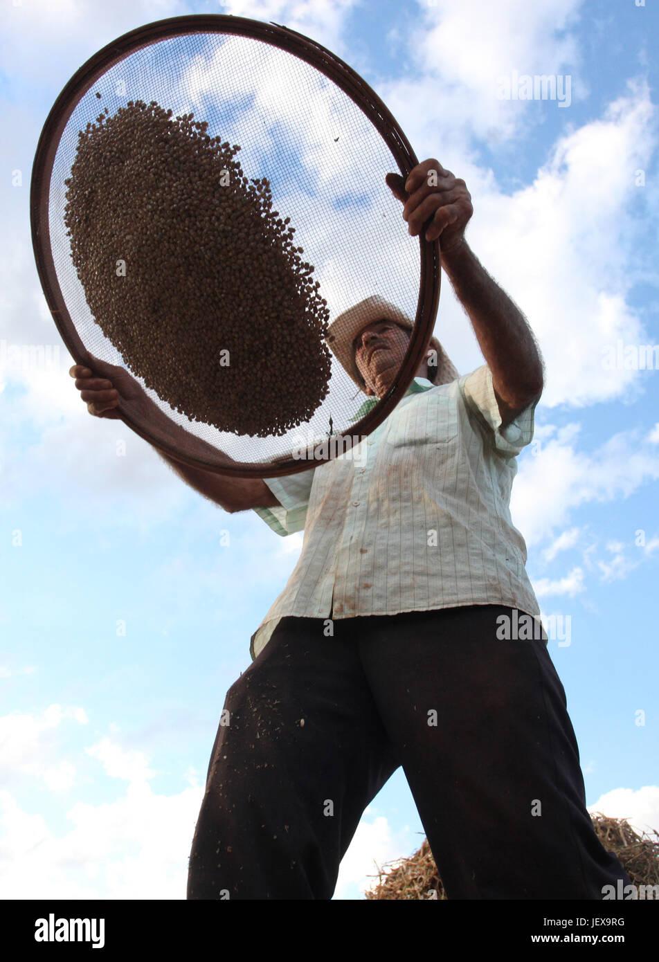 CAMPO MOURÃO, PR - 28.06.2017: COLHEITA DE FEIJÃO CARIOCA - Farmers take advantage of the strong sunshine - Stock Image