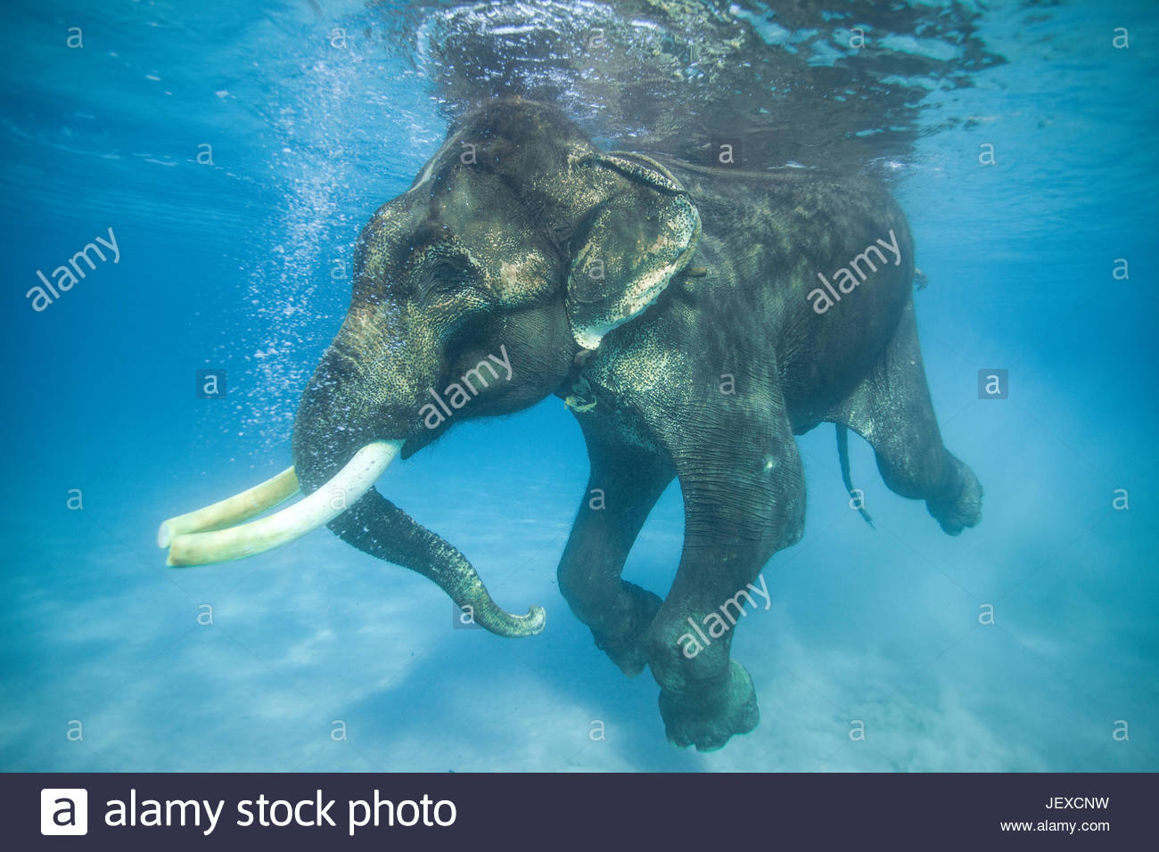 Rajan, the infamous Asian elephant, swims in the Indian Ocean. - Stock Image