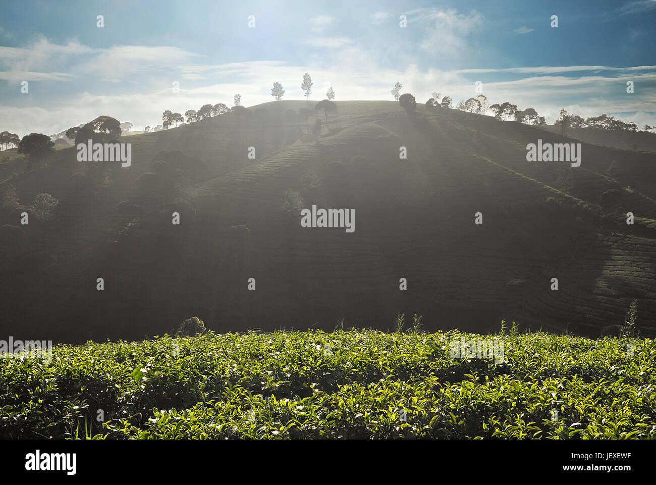 Tea Plantantion Mornings Glory - Stock Image
