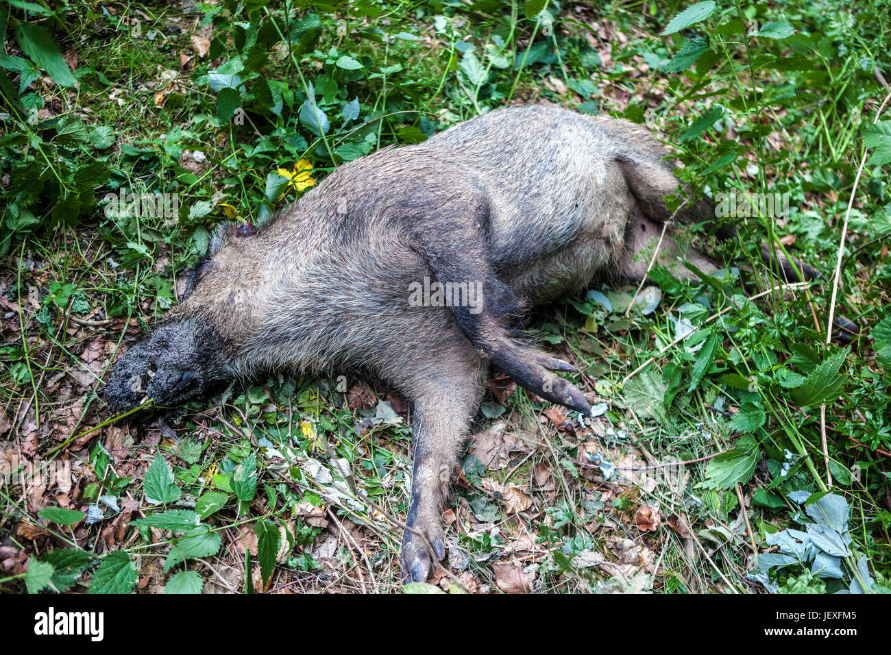 Dead Wild Boar Sus scrofa lying in the woods, Czech Republic, Europe - Stock Image