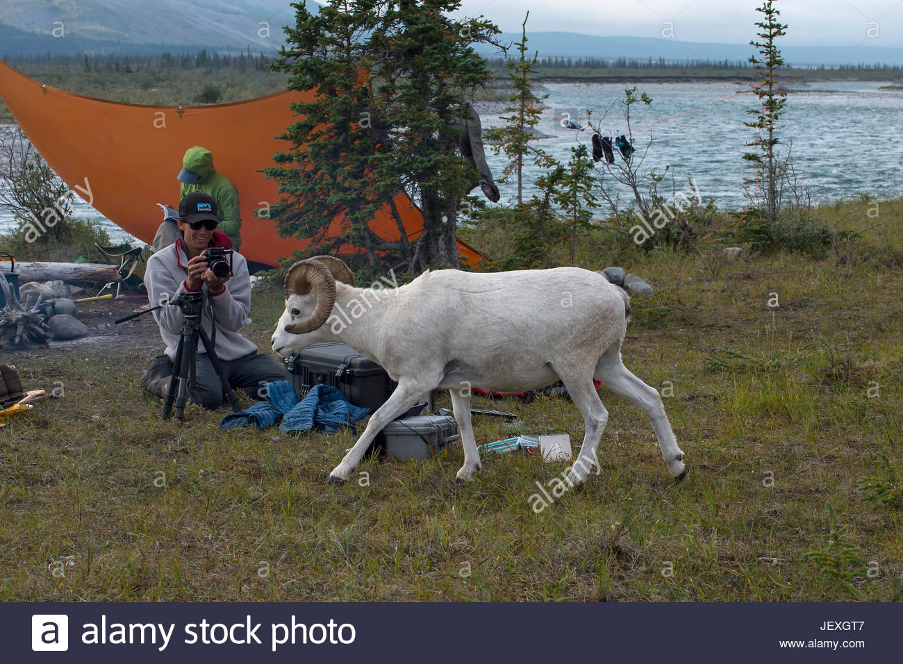 Videographer filming Dall's sheep wandering through camp on the Wind River. The sheep at this camp would let - Stock Image
