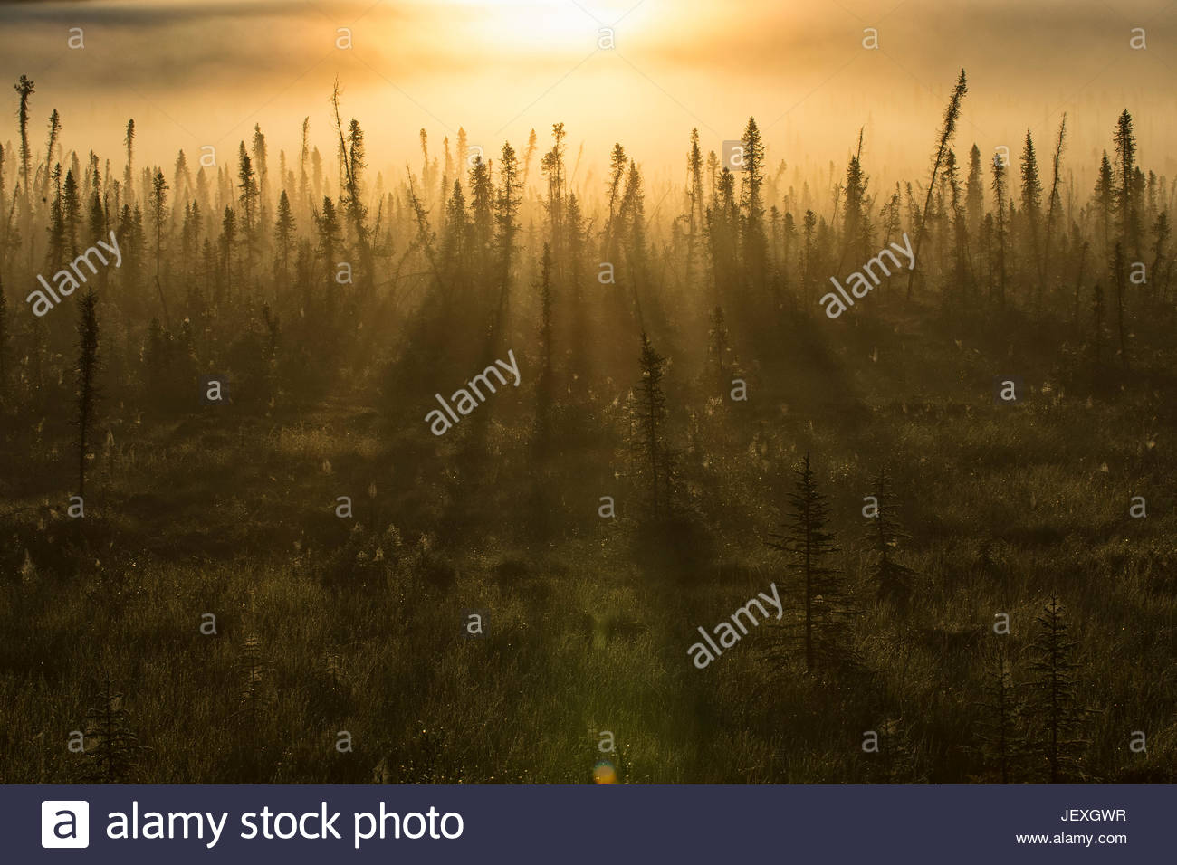Early morning sun on the boreal forest. The stunted look of the forest is due to permafrost, that lies just below - Stock Image