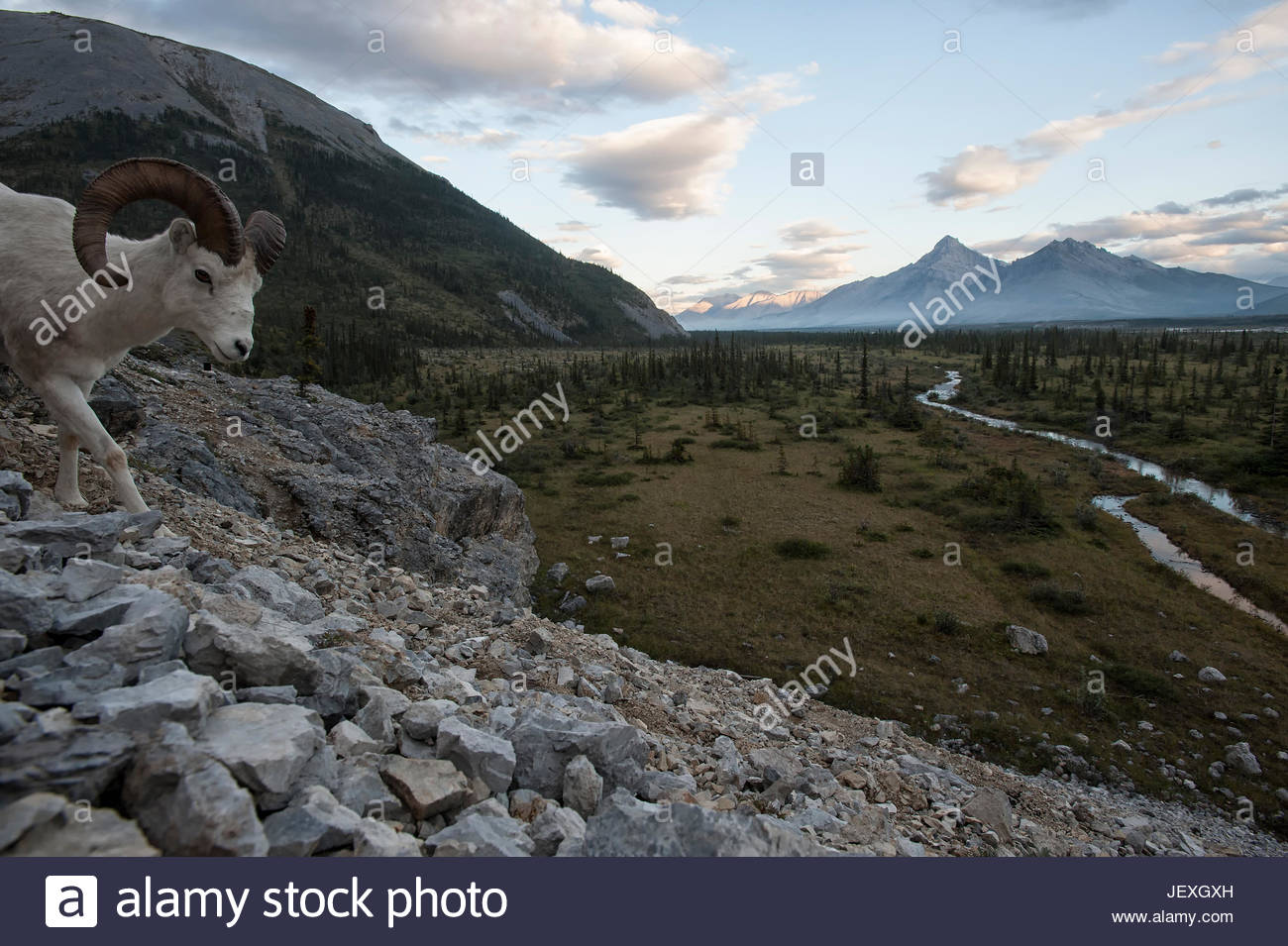 Dall's sheep, one of many animals that call this critical wilderness watershed home. These Dall's sheep, - Stock Image
