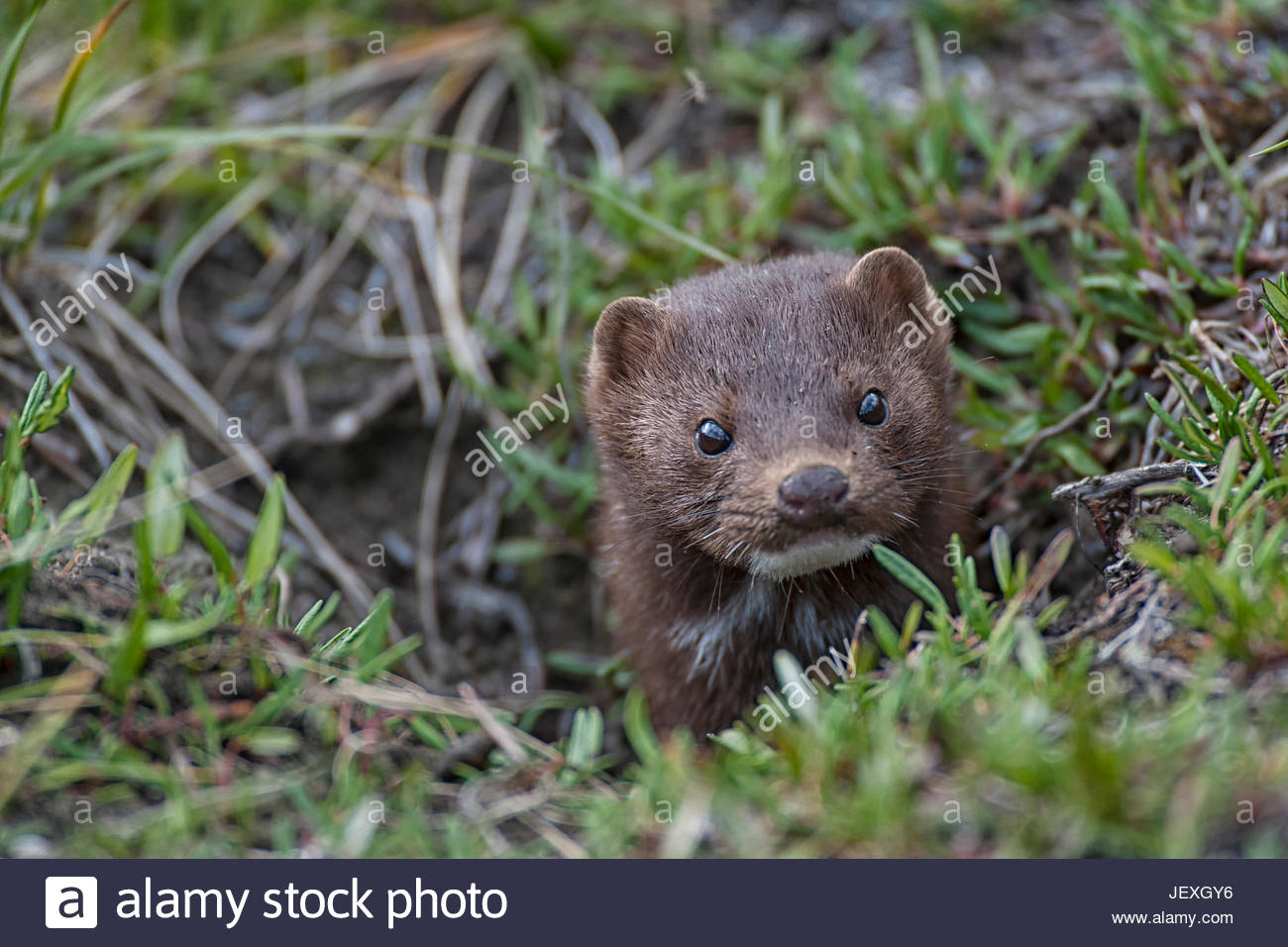 Pine martens are found in abundance throughout the watershed. This fellow chased a ground squirrel throughout our Stock Photo
