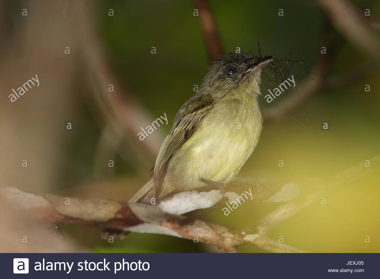Grey-crowned flatbill or grey-crowned flycatcher, Tolmomyias poliocephalus, building a nest in Tafelberg Nature - Stock Image